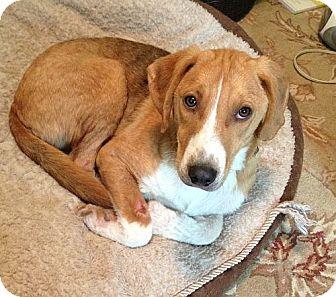 Treeing Walker Coonhound/Sheltie, Shetland Sheepdog Mix Dog for adoption in Brattleboro, Vermont - Doc($300) In New England