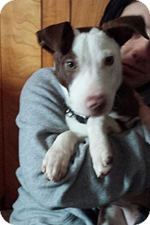 Staffordshire Bull Terrier/Labrador Retriever Mix Puppy for adoption in Media, Pennsylvania - Charlie Boy
