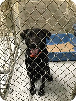 Labrador Retriever Mix Dog for adoption in MARION, Virginia - Jake