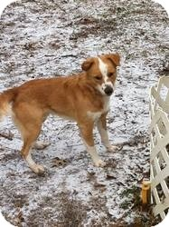 Nova Scotia Duck-Tolling Retriever/Collie Mix Dog for adoption in New Boston, New Hampshire - Rowdy
