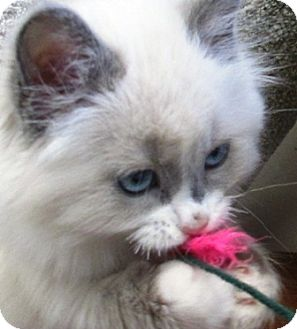 Domestic Longhair Kitten for adoption in Lloydminster, Alberta - Cheryl