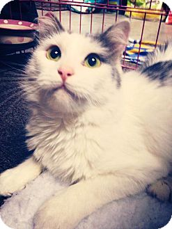 Domestic Mediumhair Cat for adoption in Bonsall, California - Lexi