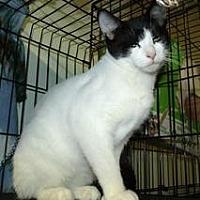 Domestic Shorthair Cat for adoption in Broadalbin, New York - ABRAHAM