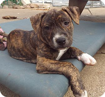 American Staffordshire Terrier Mix Puppy for adoption in Rochester Hills, Michigan - Greenly