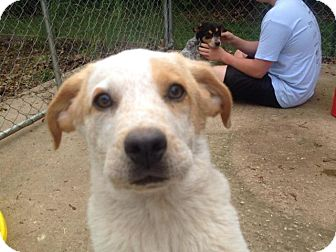 Cattle Dog Mix Puppy for adoption in Miami, Oklahoma - Owen