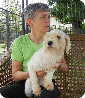 Poodle (Miniature) Mix Dog for adoption in Houston, Texas - Cherry