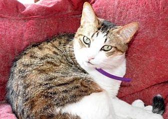 Domestic Shorthair Cat for adoption in Sebastian, Florida - Sasha