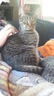 Domestic Shorthair Cat for adoption in Warren, Michigan - Denver (bonded w/Dover)