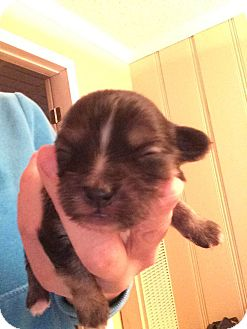 Terrier (Unknown Type, Small) Mix Puppy for adoption in Encino, California - Petruchio - Juliet Pup