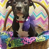Adopt A Pet :: Leta *PENDING* - Lima, OH