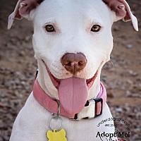 Pit Bull Terrier/Labrador Retriever Mix Dog for adoption in Chandler, Arizona - CHA CHA