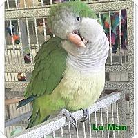 Adopt A Pet :: Lu-Man - Tampa, FL