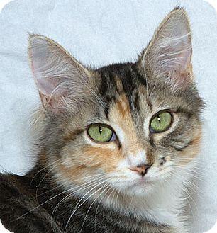 Domestic Mediumhair Kitten for adoption in Sacramento, California - Sweet Pea B
