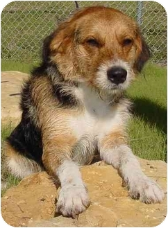 Wirehaired Fox Terrier Mix Dog for adoption in Brenham, Texas - Skip