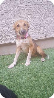Blue Heeler/Cattle Dog Mix Puppy for adoption in Phoenix, Arizona - Sansa