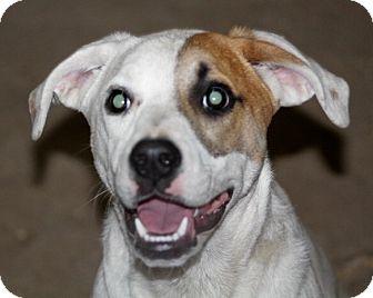 Boxer Mix Dog for adoption in Liberty Center, Ohio - Clara