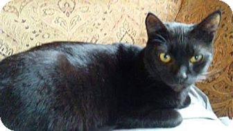 Domestic Shorthair Cat for adoption in Kelso/Longview, Washington - Trouble