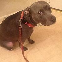 American Pit Bull Terrier Dog for adoption in Fulton, Missouri - Chloe - California
