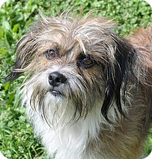Terrier (Unknown Type, Small) Mix Dog for adoption in Allentown, Pennsylvania - Griffin