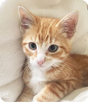 Domestic Shorthair Kitten for adoption in Arlington/Ft Worth, Texas - Queso