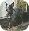 Australian Cattle Dog/Blue Heeler Mix Dog for adoption in Houston, Texas - Blue