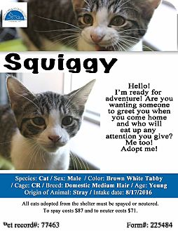 Domestic Shorthair Cat for adoption in Texarkana, Arkansas - Squiggy