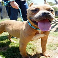 Staffordshire Bull Terrier Mix Dog for adoption in Long Beach, California - *DEXTER