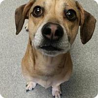 Adopt A Pet :: Little Bit - Lincolnton, NC