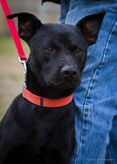 Rat Terrier Mix Dog for adoption in Bulverde, Texas - Chuck 08-10-14