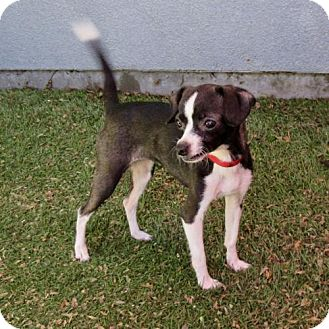 Jack Russell Terrier/Chihuahua Mix Dog for adoption in Oakland, California - Mabel