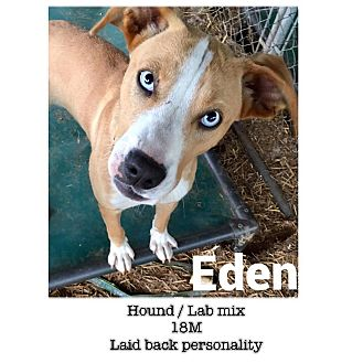 Labrador Retriever/Hound (Unknown Type) Mix Dog for adoption in Trenton, New Jersey - Eden