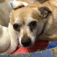 Adopt A Pet :: Ellie - Wellsville, NY