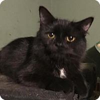 Adopt A Pet :: Silvertail - Cincinnati, OH