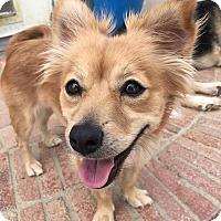 Adopt A Pet :: Calliope - Rosamond, CA