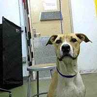 Pit Bull Terrier Mix Dog for adoption in San Bernardino, California - URGENT on 8/15@DEVORE San Bern