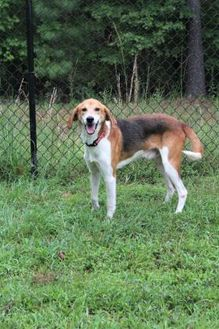 Mixed Breed (Large) Mix Dog for adoption in Lynchburg, Virginia - Hardee