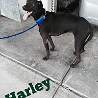 Adopt A Pet :: HARLEY - 2 1/2 YR LAB - Mesa, AZ