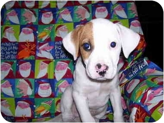 Boxer Mix Puppy for adoption in Coudersport, Pennsylvania - Jersey