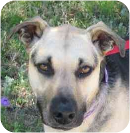 German Shepherd Dog Mix Dog for adoption in Dripping Springs, Texas - Forrest (aka Charlie)