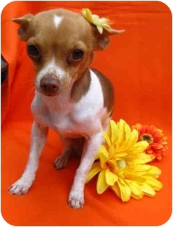 Rat Terrier/Chihuahua Mix Dog for adoption in Irvine, California - Bree - 5 lbs