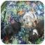 Photo 2 - Australian Shepherd/Basset Hound Mix Puppy for adoption in Eaton, Indiana - puppies