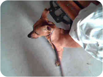 Chihuahua Mix Dog for adoption in Corpus Christi, Texas - Panch