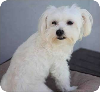 Maltese Dog for adoption in Yuba City, California - Baby