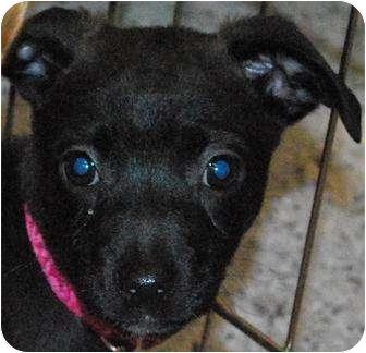 Labrador Retriever Mix Puppy for adoption in Oceanside, California - Zoey
