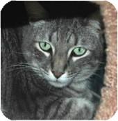Domestic Shorthair Cat for adoption in El Cajon, California - O'Reilly
