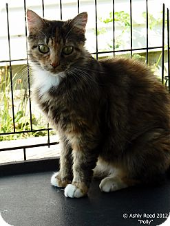 Domestic Longhair Cat for adoption in St. James, Missouri - Polly