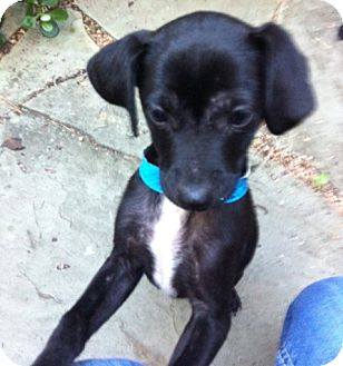 Terrier (Unknown Type, Small) Mix Puppy for adoption in Houston, Texas - Walt