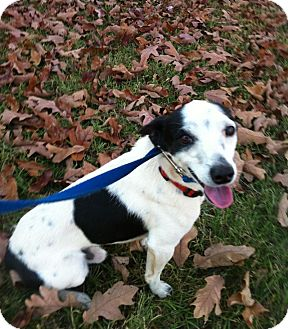 Rat Terrier Dog for adoption in Muldrow, Oklahoma - Donovan