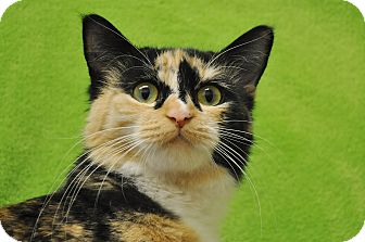 Calico Cat for adoption in Foothill Ranch, California - Jazzmine