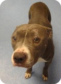 American Pit Bull Terrier Mix Dog for adoption in Gainesville, Florida - Jersey